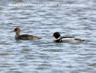 An adult breeding pair, mature male and female...