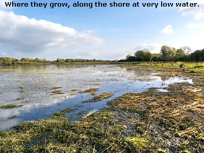 Where they grow, along the shore at very low water.