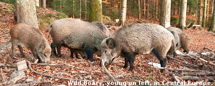 Wild Boars, young on left, in Central Europe.